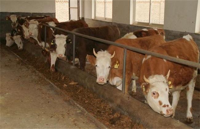 牛越养越瘦原因 牛越养越瘦