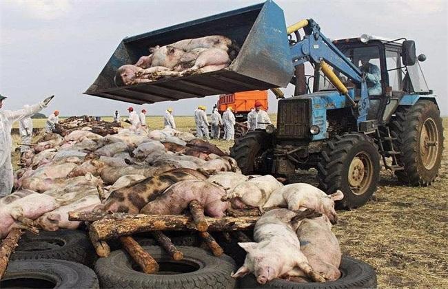 非洲猪瘟症状 防治非洲猪瘟
