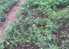 花椒芽怎么栽培