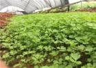 芹菜如何育苗?芹菜秋季育苗时间和方法