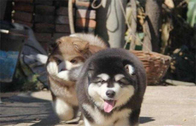 阿拉斯加犬多少钱一只
