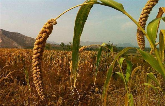 黄米和小米的区别