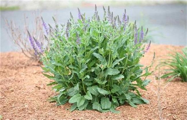 丹参的种植与生长条件