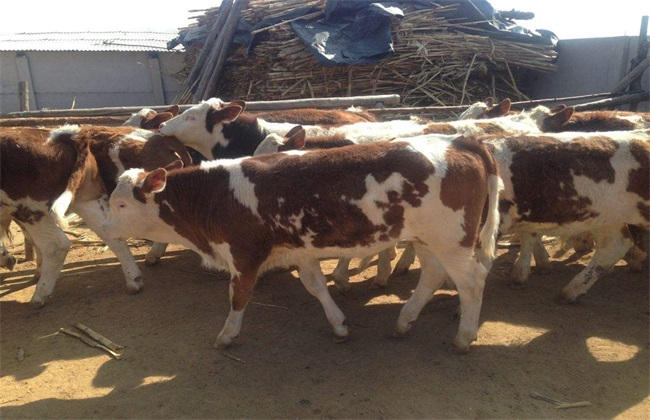 肉牛如何快速育肥?肉牛快速育肥技术要点