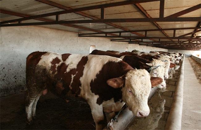 肉牛快速育肥 肉牛育肥技术