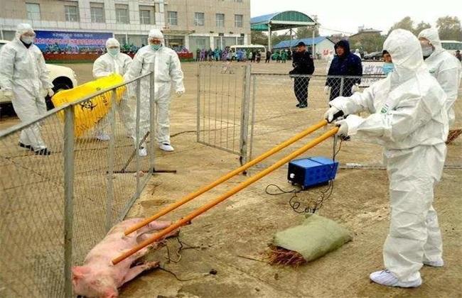 非洲猪瘟传染人吗 非洲猪瘟