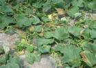 甜瓜塌秧发生原因及防治方法