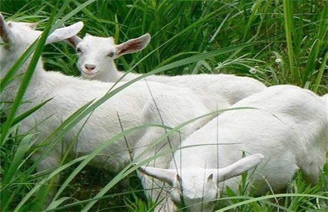 一亩地养多少只羊