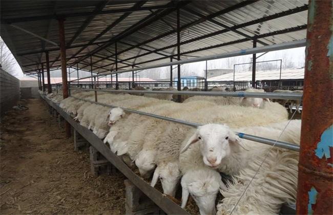 羊破伤风症状 羊破伤风防治