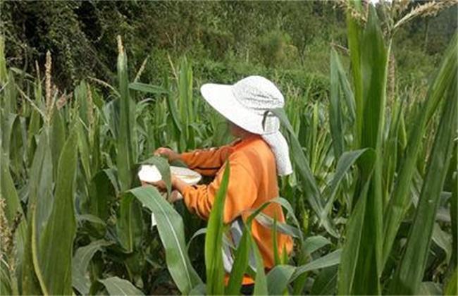 玉米授粉方法及注意事项