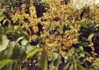 芒果只开花不结果原因及防治方法