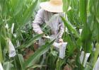 玉米人工授粉方法及注意事项