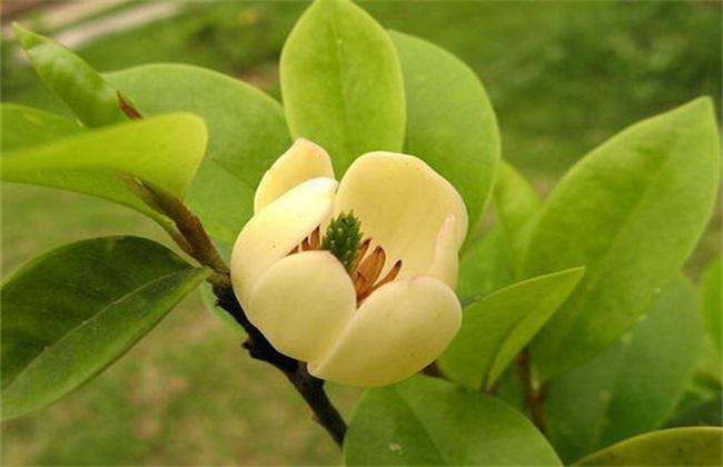 含笑花养殖方法 含笑花