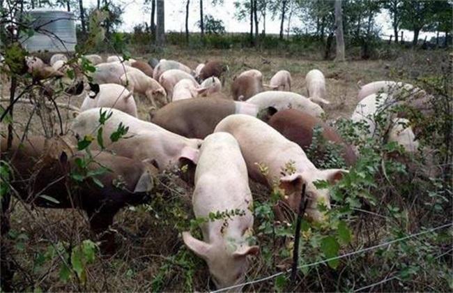 非洲猪瘟 非洲猪瘟传播途径