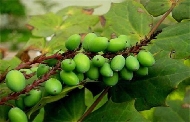 西青果的种植技术