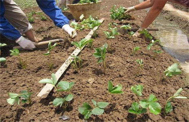 草莓定植成活率