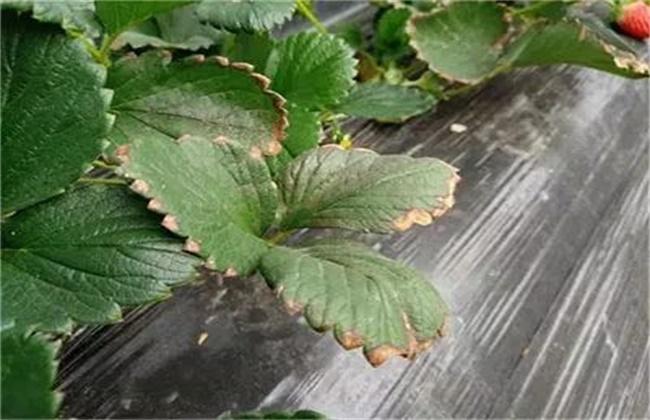 草莓叶片变脆原因及解决方法