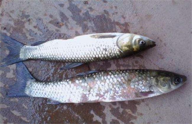 鱼病特点 鱼病不好治疗的原因