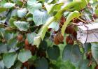 野生猕猴桃的价格是多少