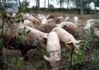 非洲猪瘟通过什么传播?非洲猪瘟传播途径