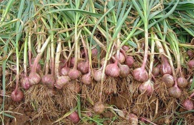 紫皮蒜种植技术