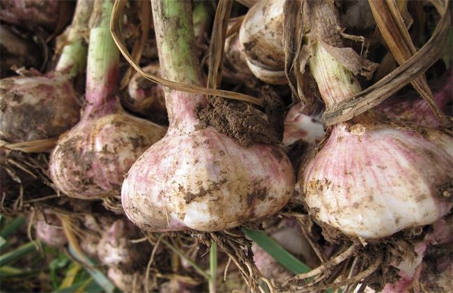 紫皮大蒜退化原因及防治措施