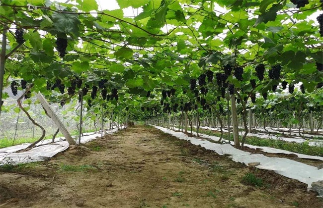 大棚葡萄追肥 葡萄怎么追肥
