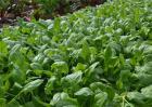 秋菠菜什么时候种植?秋菠菜种植时间和方法