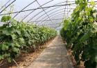 大棚葡萄怎么追肥?大棚葡萄追肥技巧