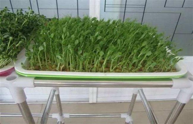 豌豆芽种植方法 豌豆芽种植