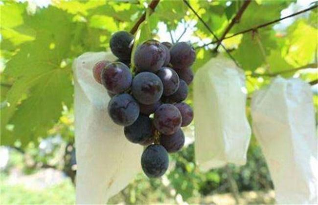 清香木的养殖方法及注意事项