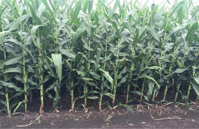 玉米灌浆期 玉米灌浆期管理