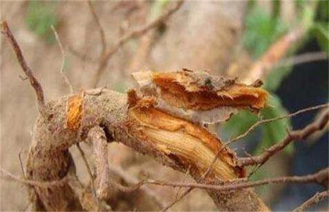 樱桃死树原因及防治措施