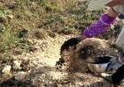 猕猴桃什么时候施肥,猕猴桃施肥方法