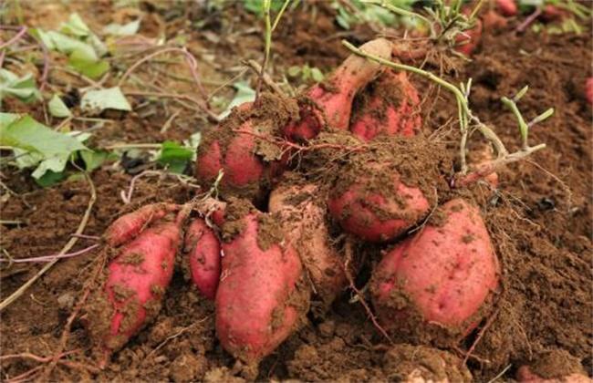甘薯品质退化原因及防止措施