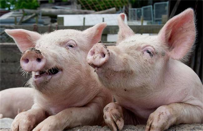 猪呼吸道疾病该怎么防治