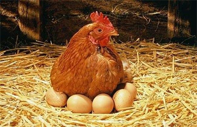 降低蛋鸡饲料成本 蛋鸡饲料