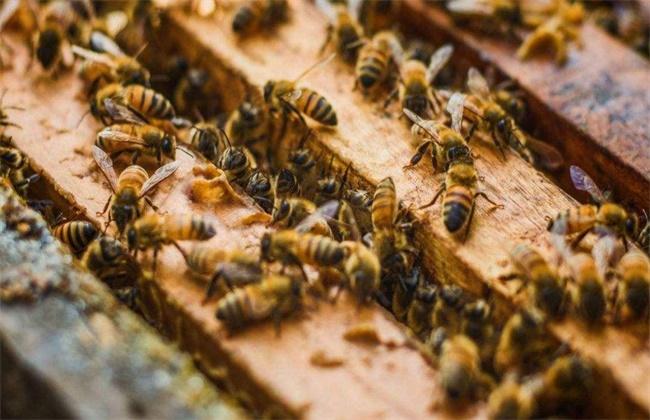 蜜蜂秋繁技术要点