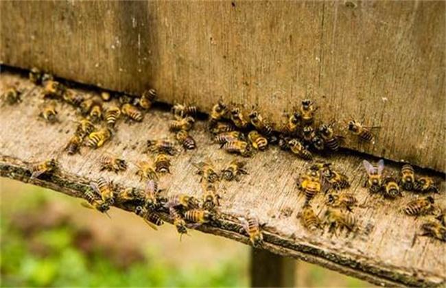 蜜蜂秋繁死亡率高原因及预防措施