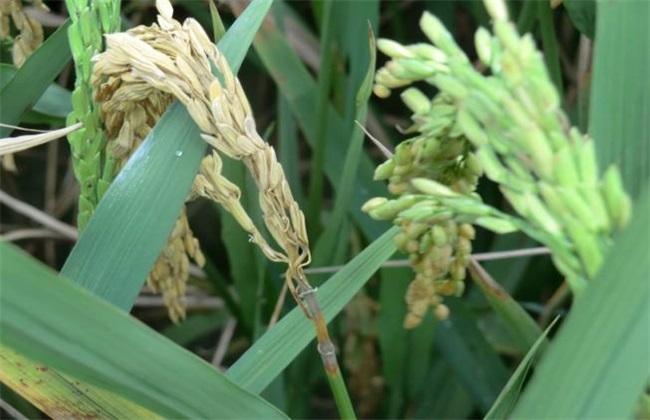 水稻稻瘟病的防治措施