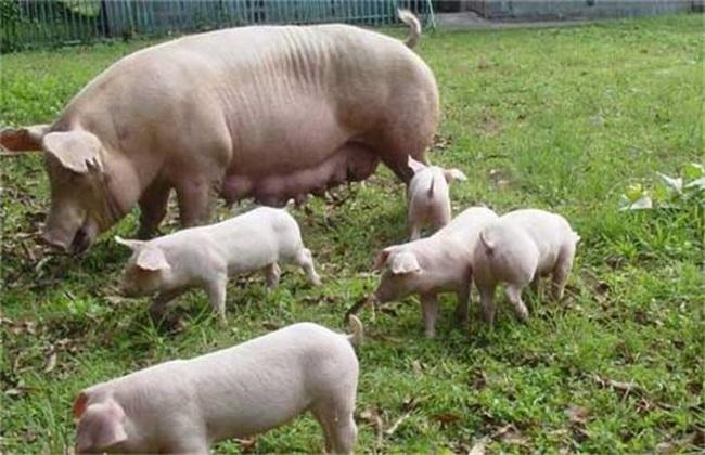 母猪少乳怎么办