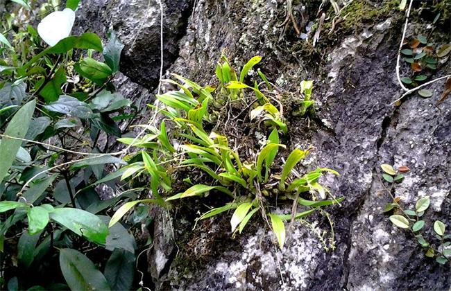 野生铁皮石斛的生长环境