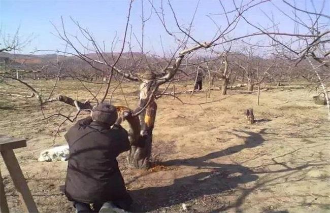 果树冬季刮皮的方法