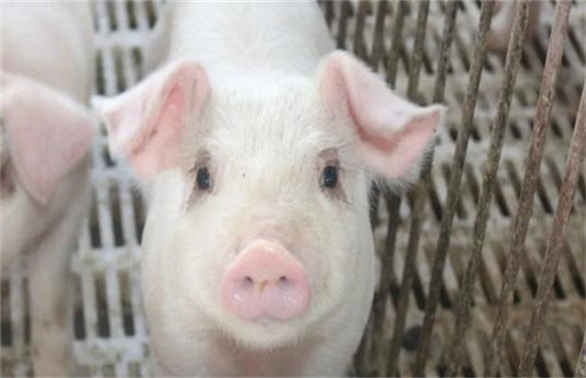 茶叶养猪的具体方法