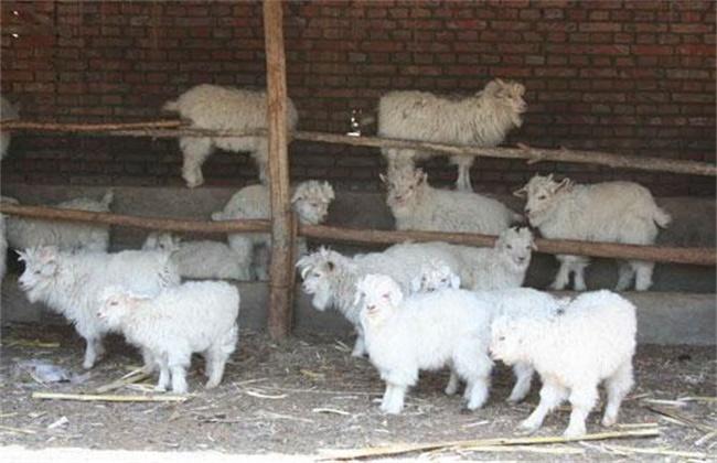 羔羊快速育肥出栏技术