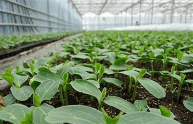 越冬茄子的育苗技术