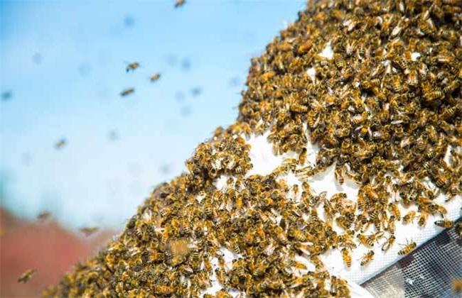 蜜蜂秋季该怎么管理?蜜蜂秋季管理技术