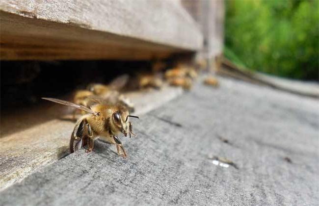 秋季蜜蜂没蜜会跑吗?秋季如何防止蜜蜂逃跑
