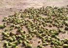 黄花菜种子多少钱一斤