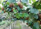 猕猴桃果园秋季管理要点